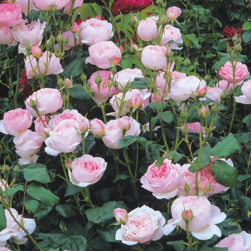 'Scepter'd Isle' rose. Photo credit: davidaustinroses.com