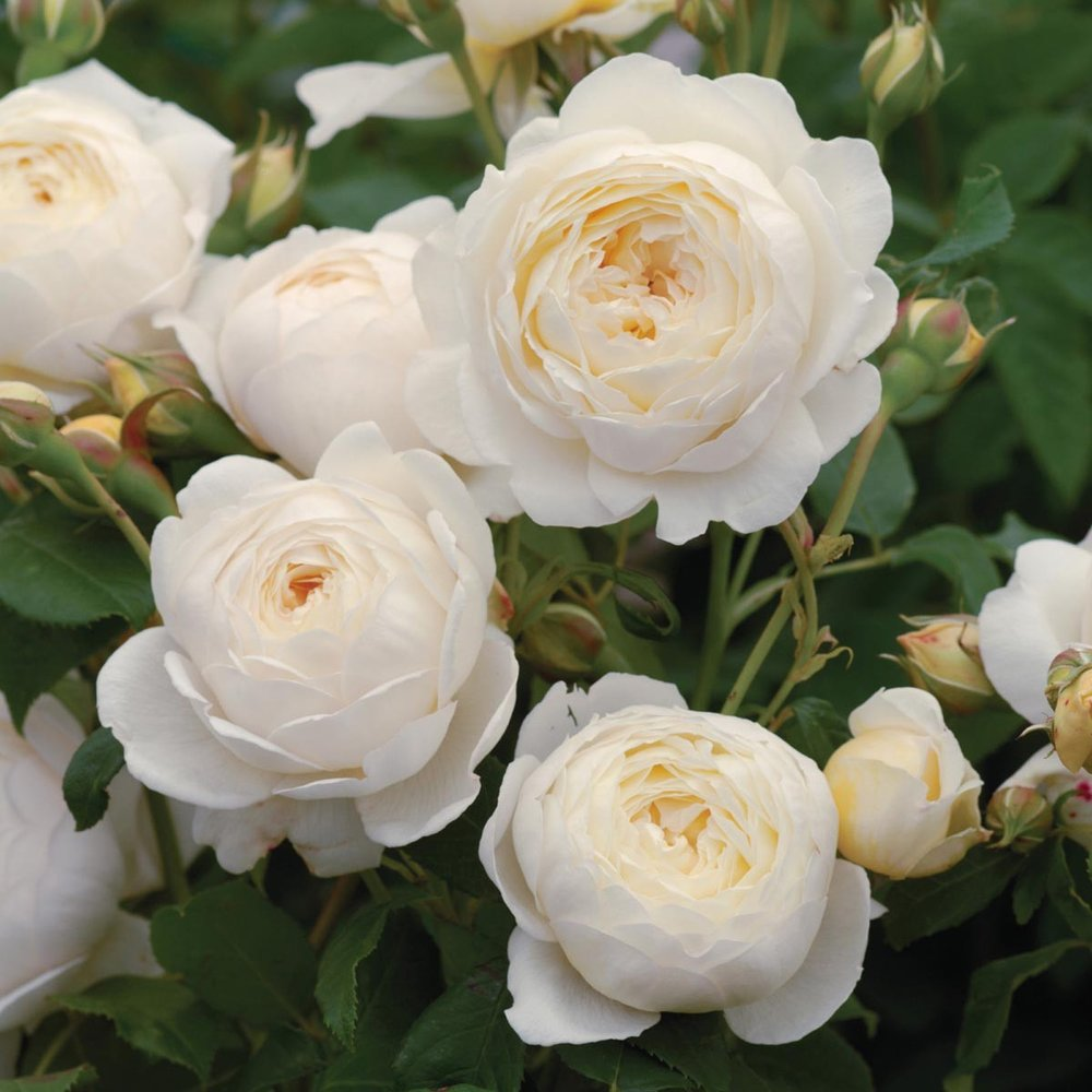 'Claire Austin' rose. Photo credit: davidaustinroses.com