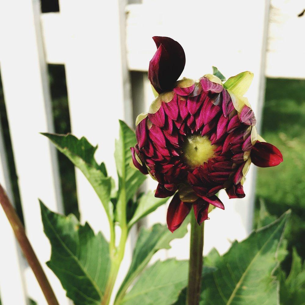 Hollyhill Black Beauty