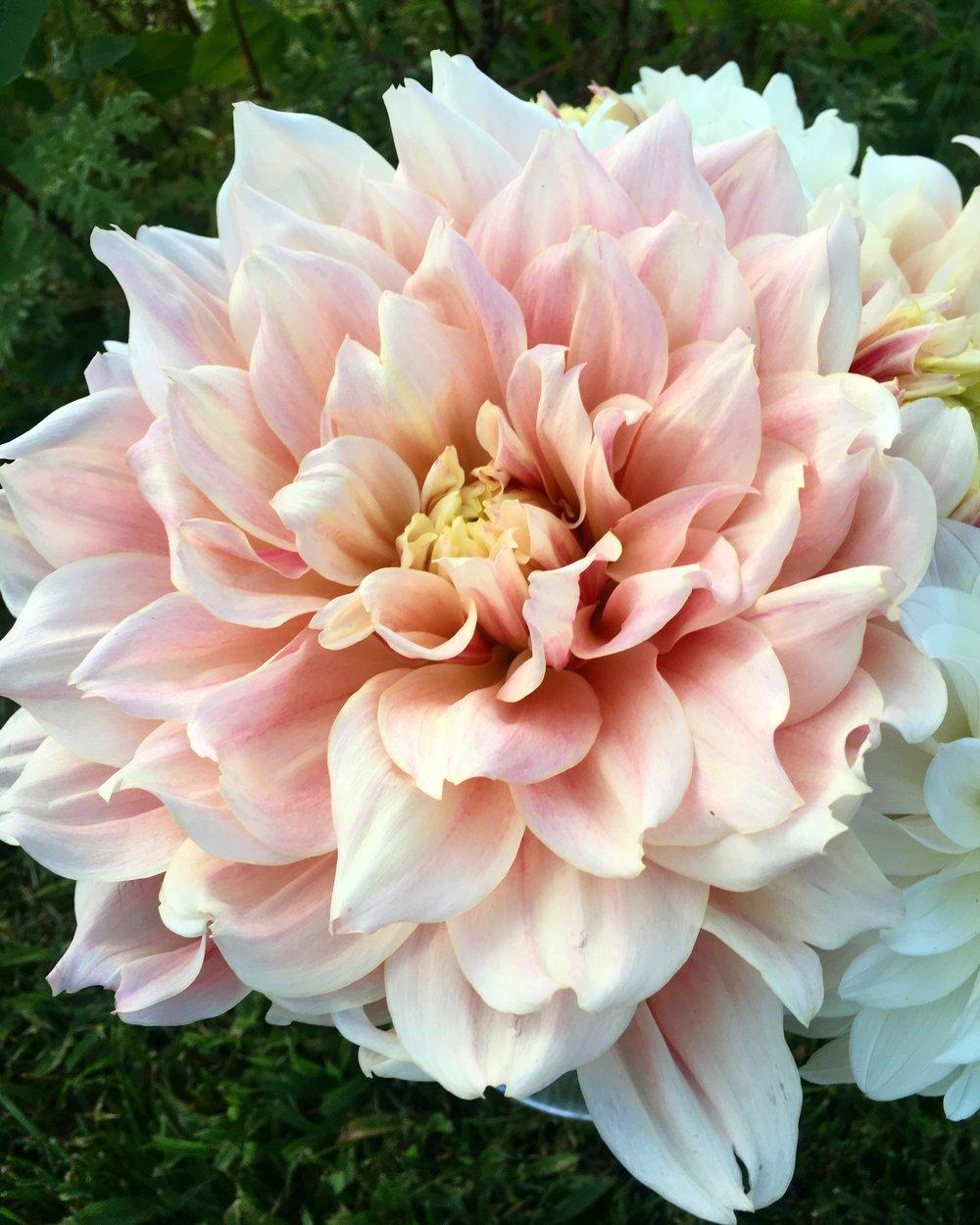 The language of flowers dahlia daze garden spells izmirmasajfo