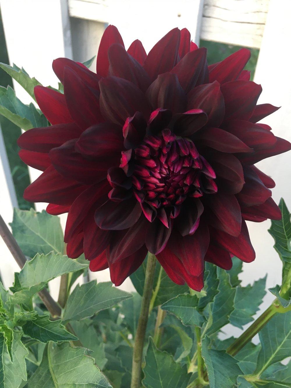 The dramatic beauty of Hollyhill Black Beauty.