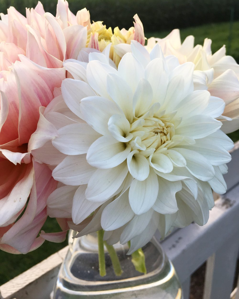 Canter Court dahlia front and center.