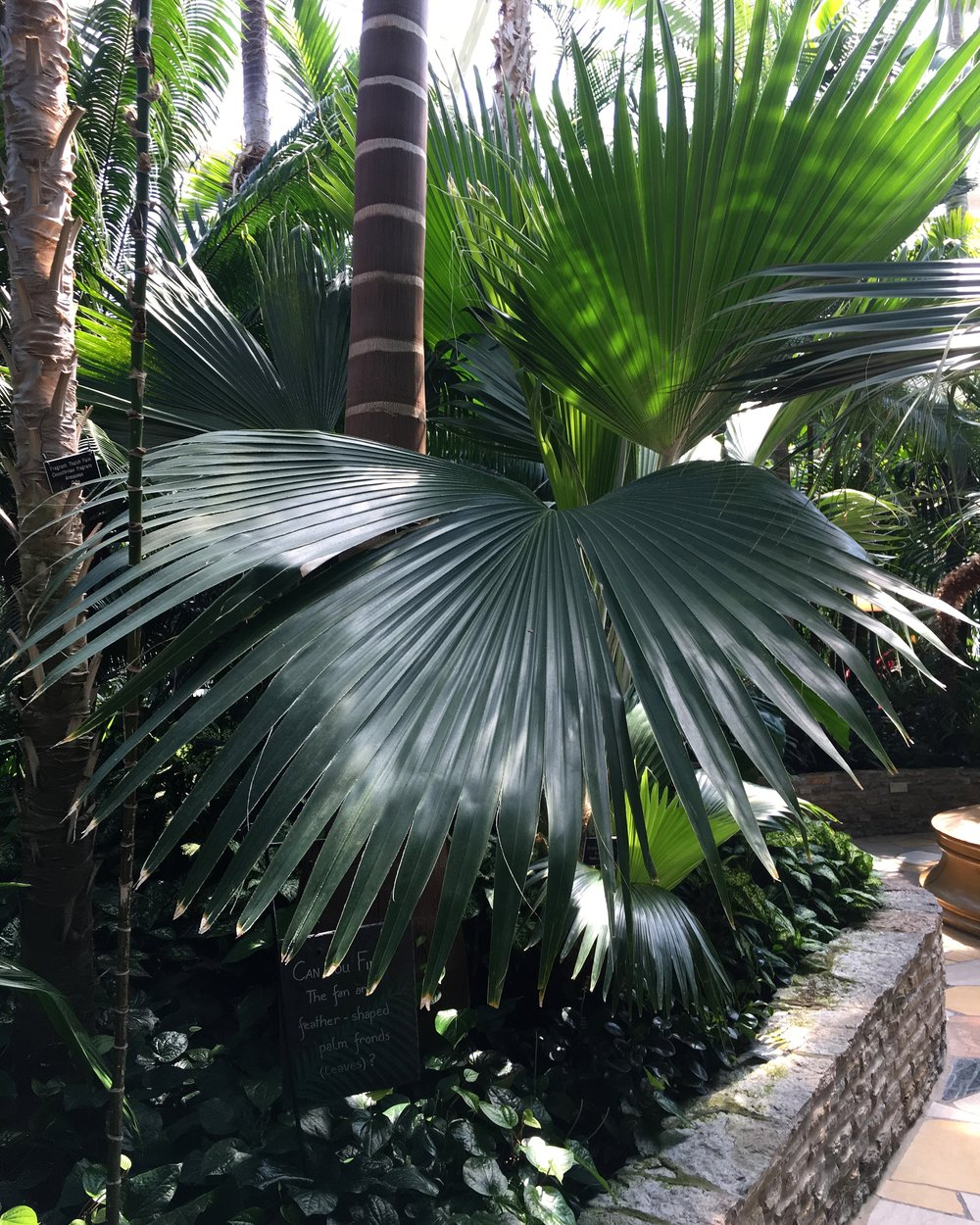 Bismarckia nobilis is my favorite palm tree. And this one was HUGE and so healthy!
