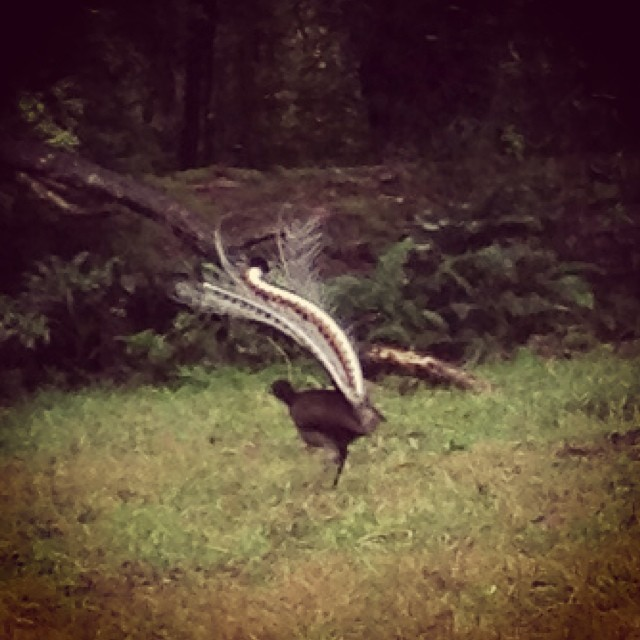 Lyrebird dancing