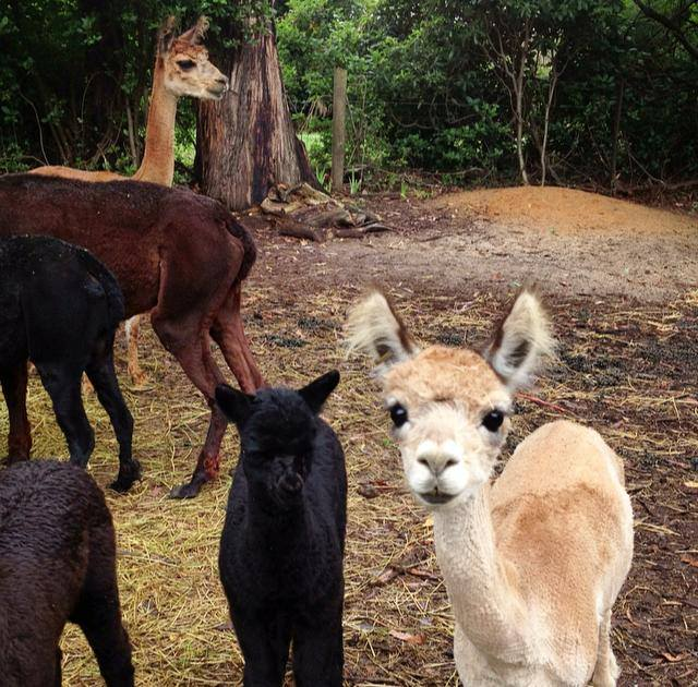 Alpacas with sacred familiar