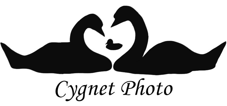 Cygnet Photo