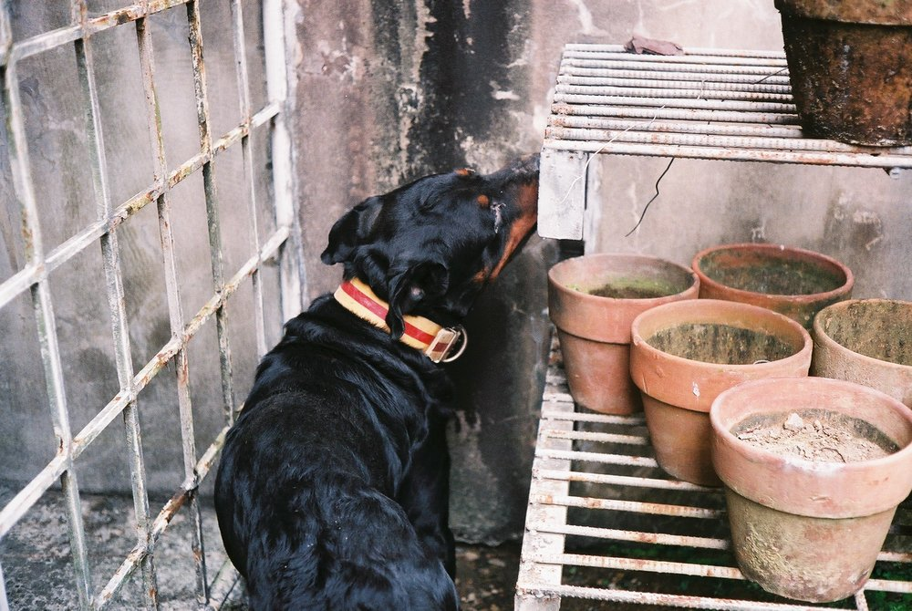 A not so complimenting photograph of my late dog, Portnoy. Taken with a Canon Canonet QL17 Giii. Lens full of scratches but the image turned out really sharp.