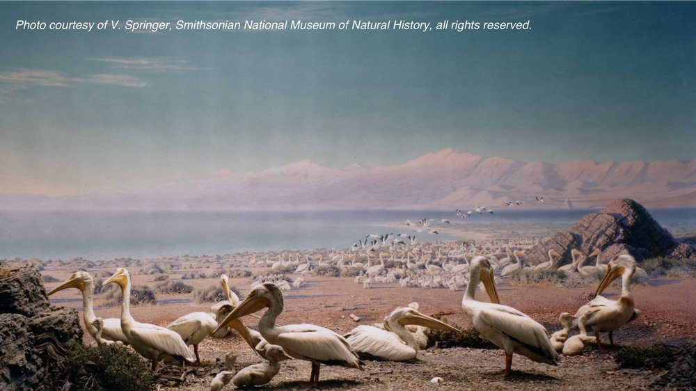 White Pelican Group diorama, California Academy of Sciences. The building housing the mural was destroyed as part of modernization initiatives, resulting in the loss of Hudson's remarkable work. Photo courtesy of V. Springer, Smithsonian National Museum of Natural History, all rights reserved.