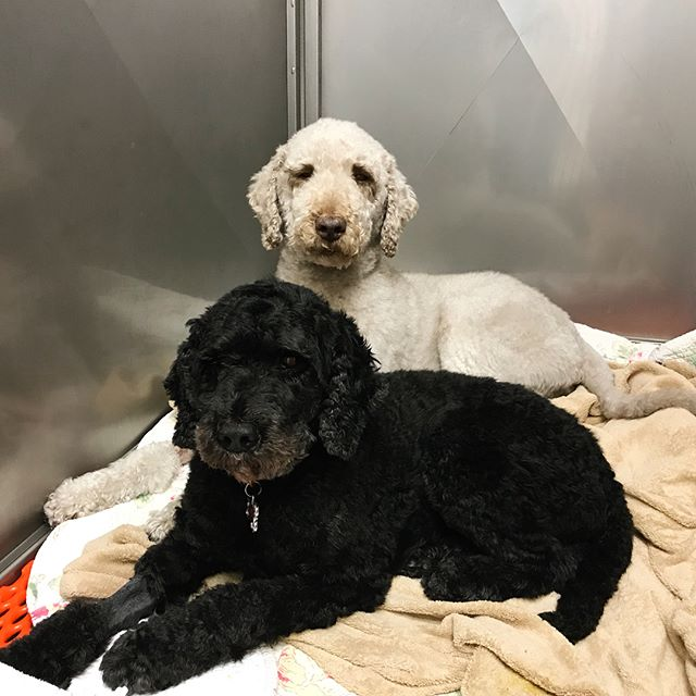 Surgery is so much easier with a sibling by your side🐶💕. Lucy and Bogey both had dental cleanings today and have enjoyed snuggling all afternoon in recovery. 🐾 #danielisland #danielislandvet