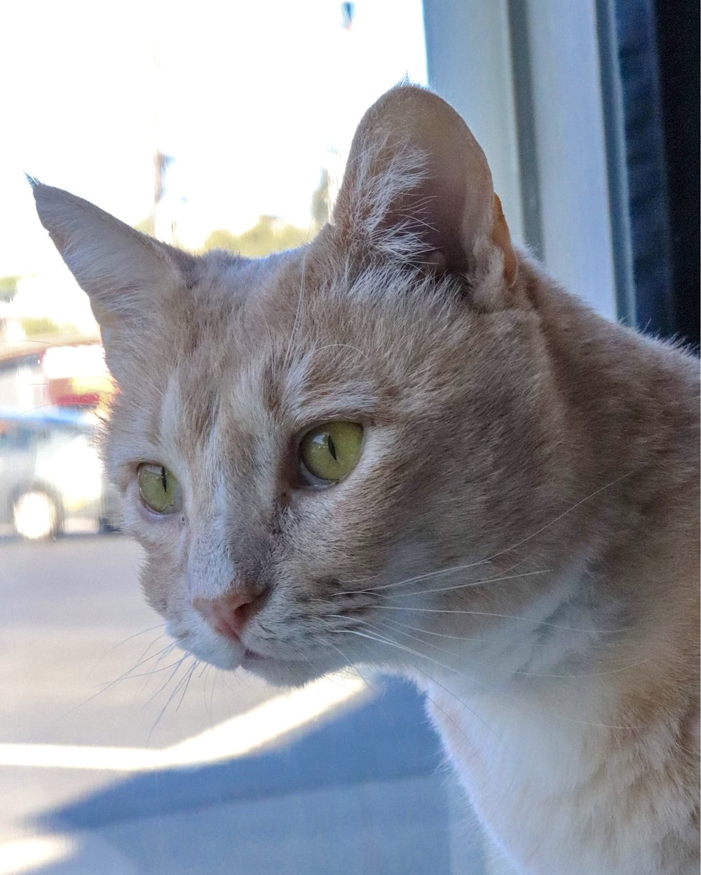 Romero during his stay at Cat Town Cafe and Adoption Center while he was awaiting adoption.  Photo Credit: Cat Town Cafe and Adoption Center