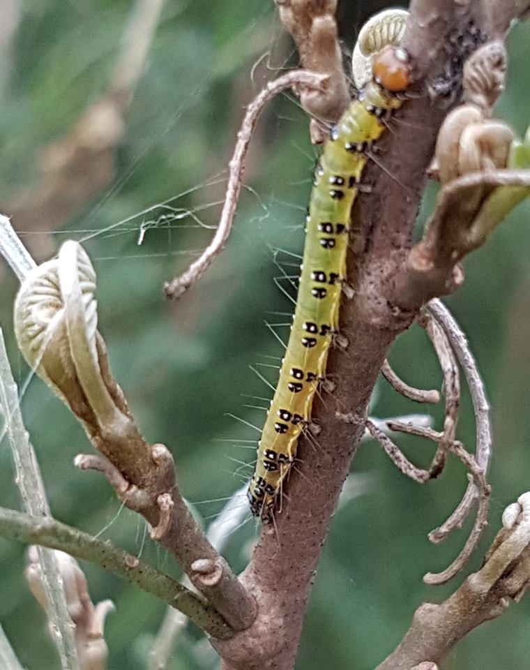 Caterpillars of our endemic  kōwhai moth  ( Uresiphita maorialis ) eating leaflets of our  Cook Strait kōwhai trees  ( Sophora molloyi ). It is the first report of those carterpillar on this kōwhai species.
