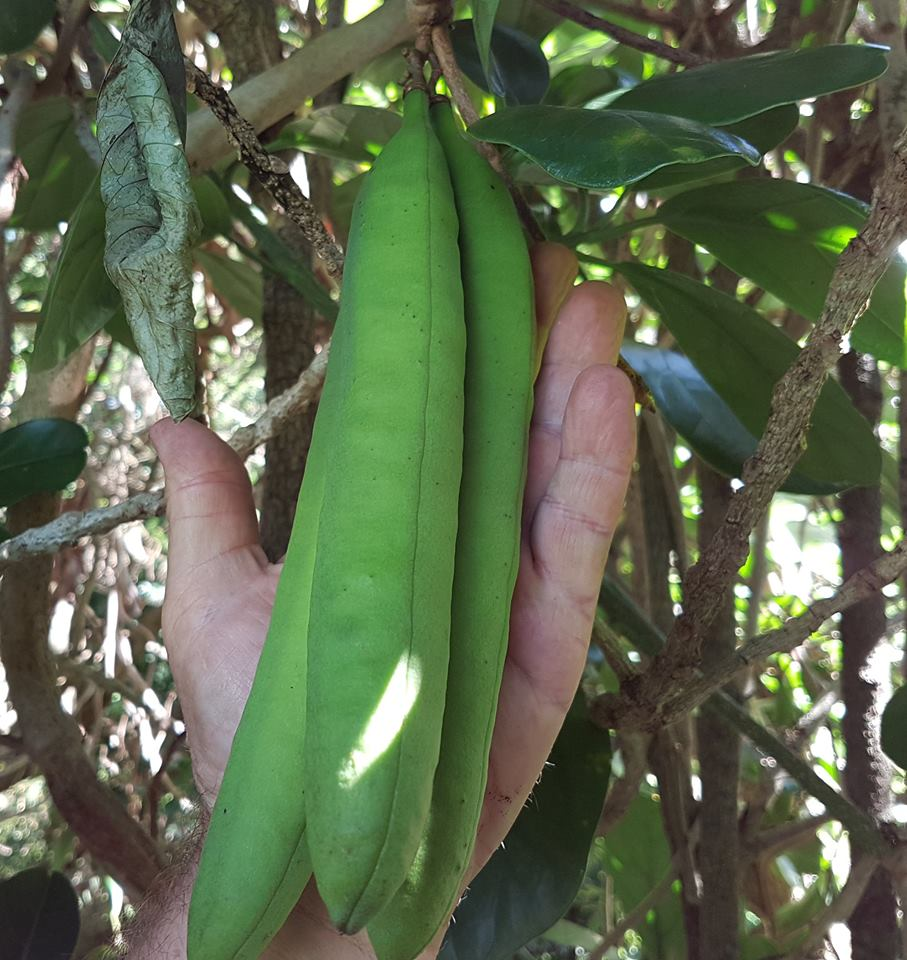 "Our  Three Kings vine  ( Tecomanthe speciosa ) climbing one of the  Queensland kauri trees  ( Agathis robusta )  has a few large seed pods that may remain attached for several years.  Tecomanthe  is an endemic species to the Three Kings Islands and its conservation status is ""Threatened - Nationally Critical"""