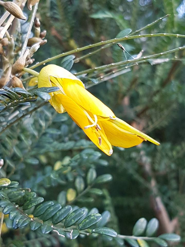 "Our  Cook Strait kōwhai trees  ( Sophora molloyi ) start flowering in June. Its current conservation status is ""at risk, naturally uncommon""."