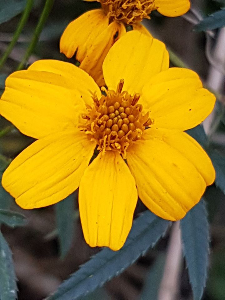 The  Mexican marigold  ( Tagetes lucida ) growing in the herb garden greets the visitor with its bright golden-yellow flowers.