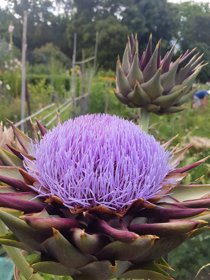 Globe artichokes  ( Cynara scolymus ) are large, perennial plants with silvery-green leaves, and often more than 2 m tall at the Sanctuary Mahi Whenua.