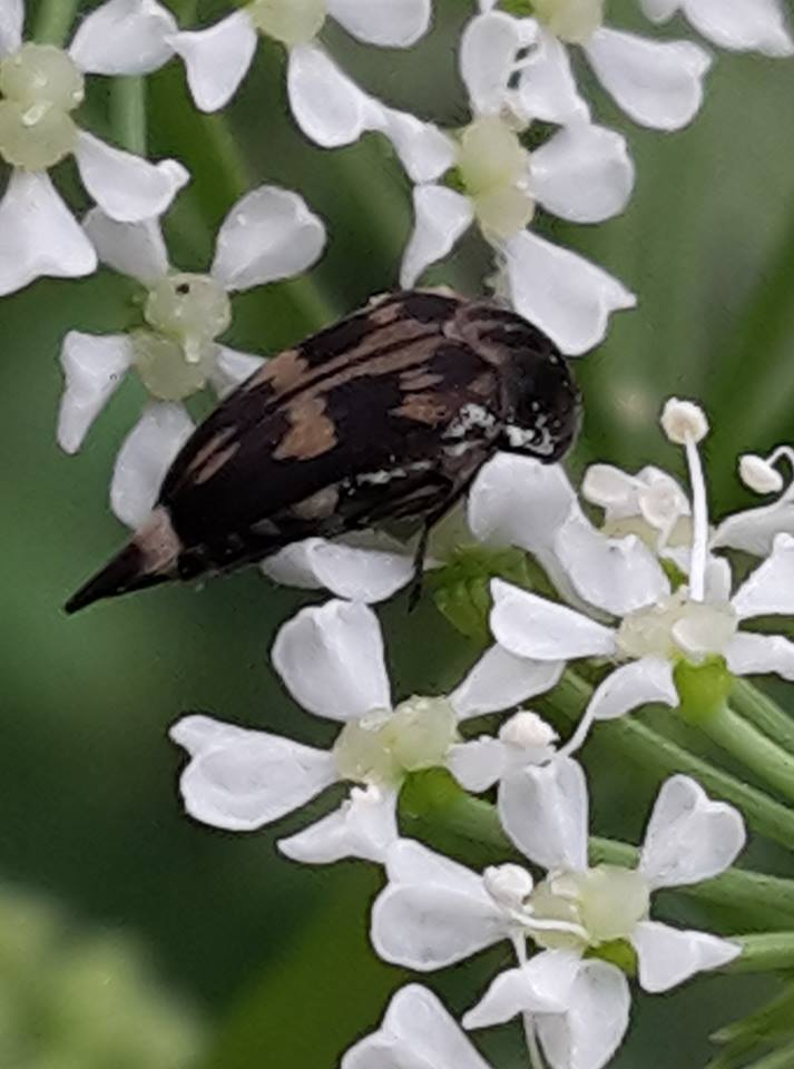 New Zealand endemic  tumbling   flower beetle  ( Zeamordella monacha ; family Mordellidae) on a flowering hemlock plant ( Conium maculatum )
