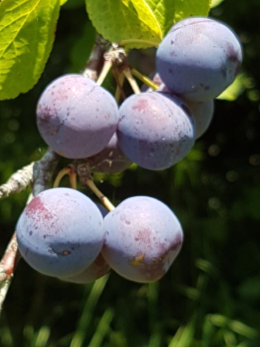 Damson plums  ( Prunus domestica subsp. insititia ) are both high in sugars and highly astringent, and are best known for jam making or flavouring gin.