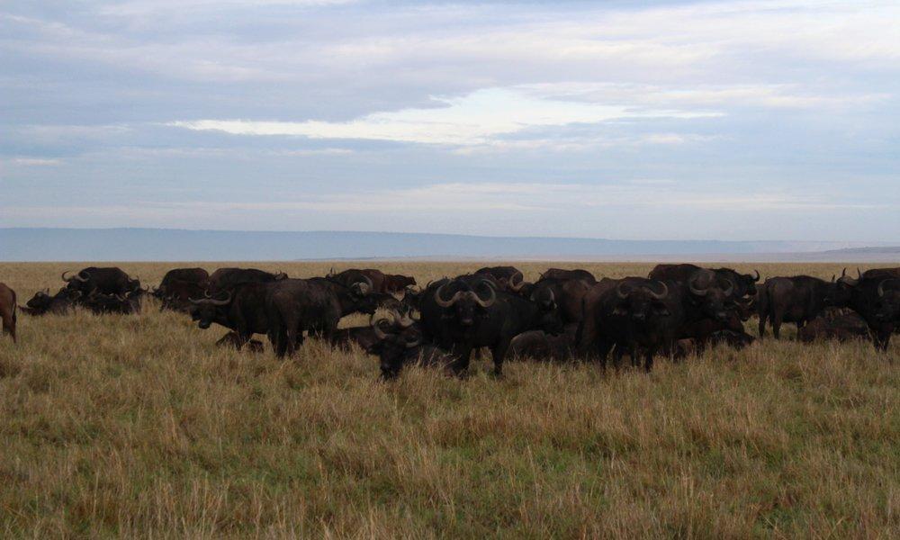 Buffalo march