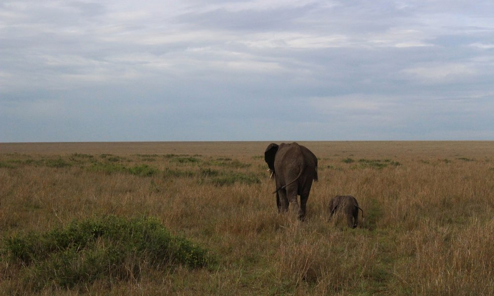 Elephants on the savannah