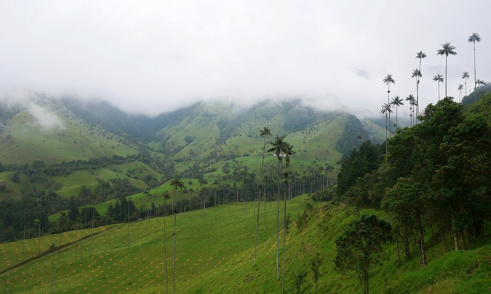 cocora valley salento colombia wax palms