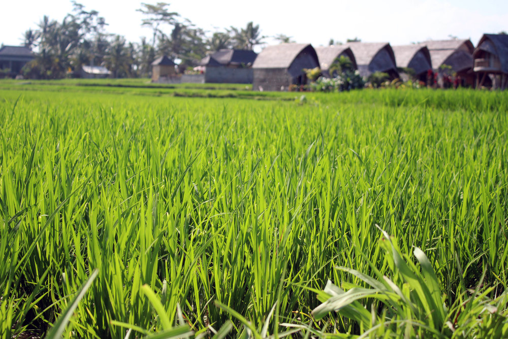 Our Ubud hostel in the heart of the rice fields