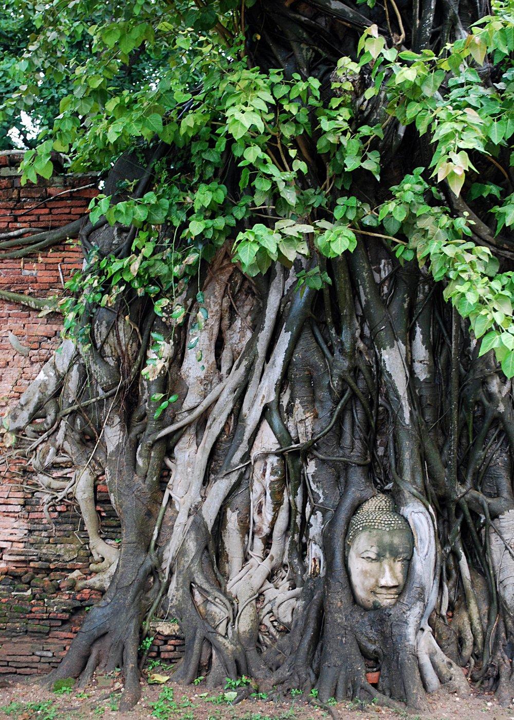The fallen Buddha head, Ayutthaya