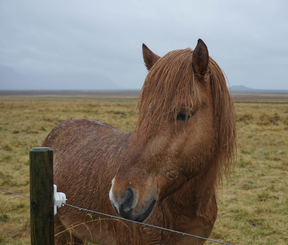 Even without puffins or whales, you'll still see plenty of Icelandic horses. Stop and pet them all!