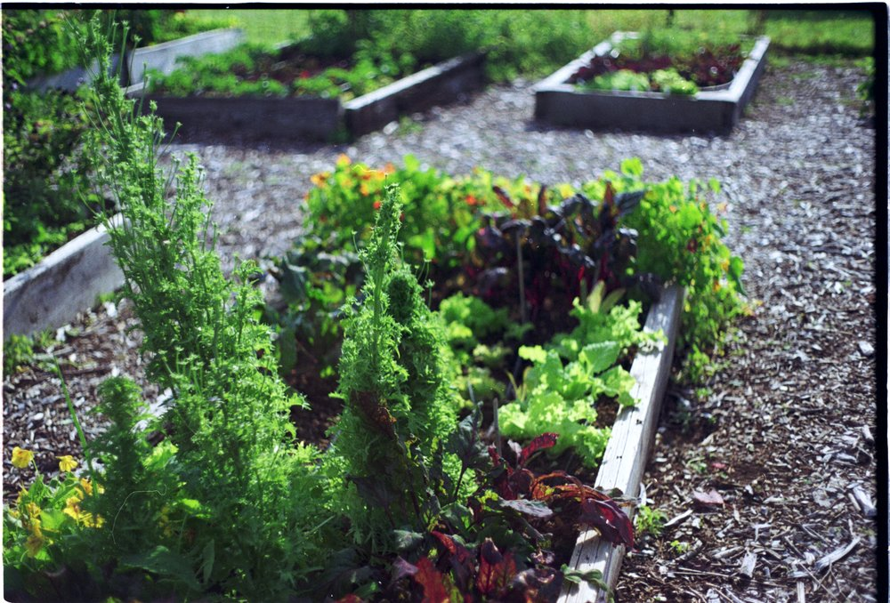 Veggies, Raised beds, Gardens, Victoria, BC