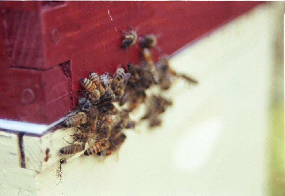 Bees, Honey, Gardens, Victoria, BC