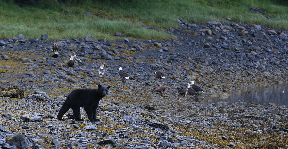 Bear and eagles in Whale Pass Alaska