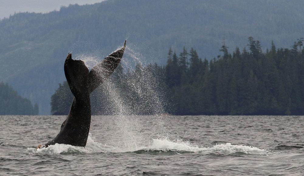 Humpback whale tail-lobbing in Craig Alaska