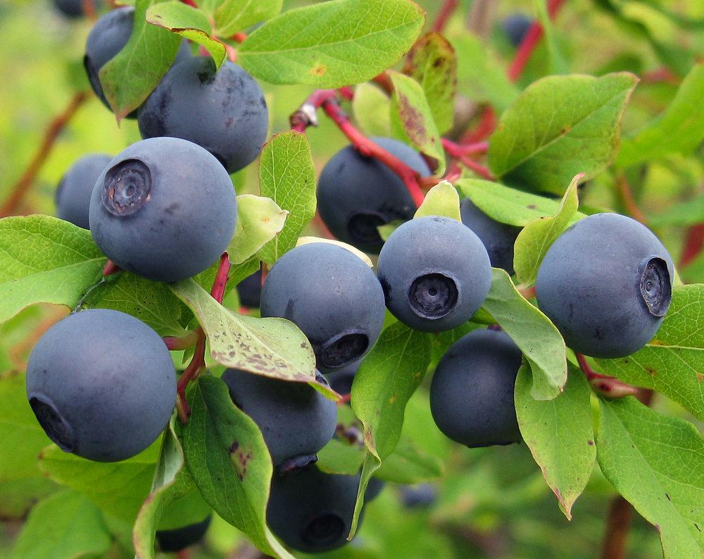Wild Blueberries in Alaska