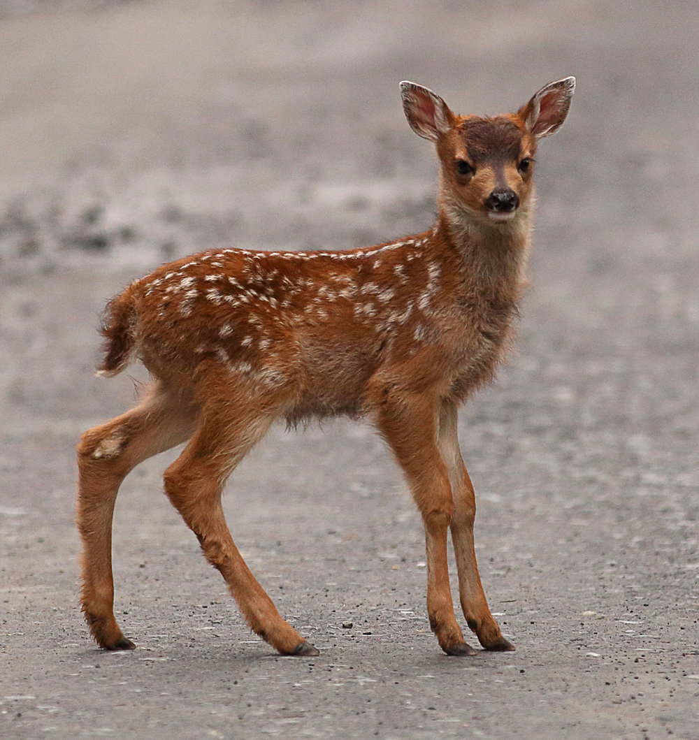 Sitka Blacktail Fawn Southeast Alaska