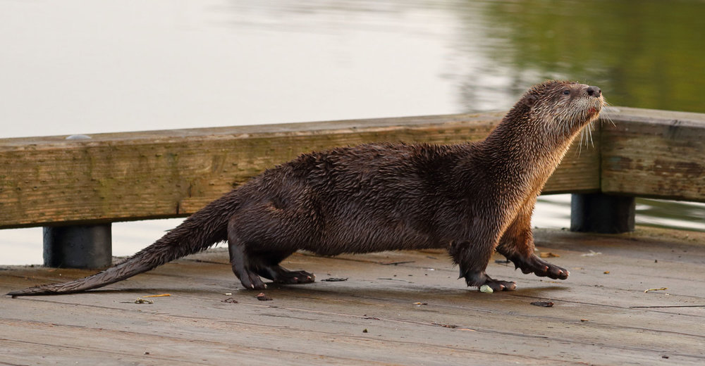 River otters are more active in the early morning