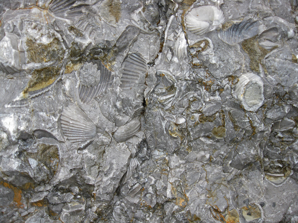 Fossil brachiopods on Prince of Wales Island in Southeast Alaska