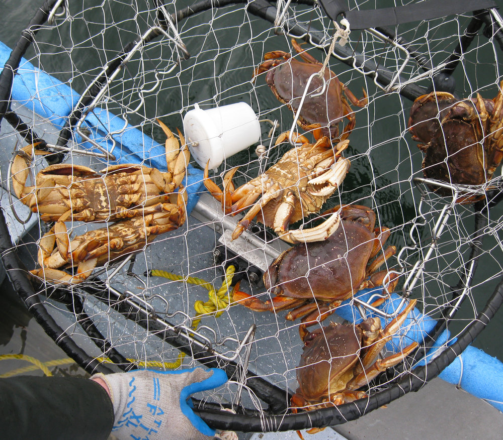Travel for a Crab pot with Dungeness crab Thorne Bay Prince of Wales Island Southeast Alaska