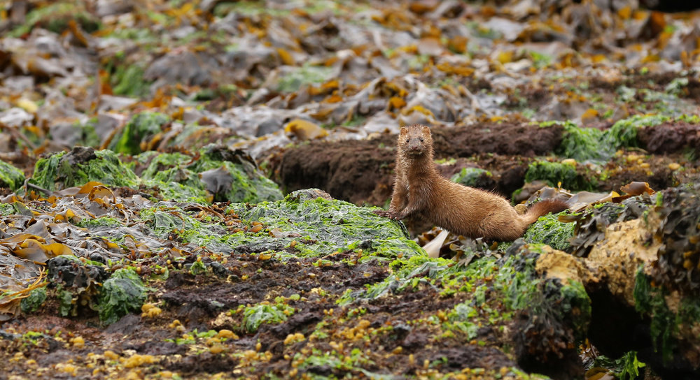 Mink cruise the beach at low tide looking for food.