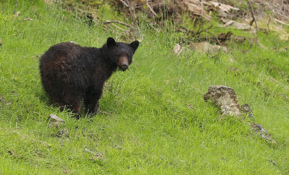 Black bears chow down on grass in spring and early summer.
