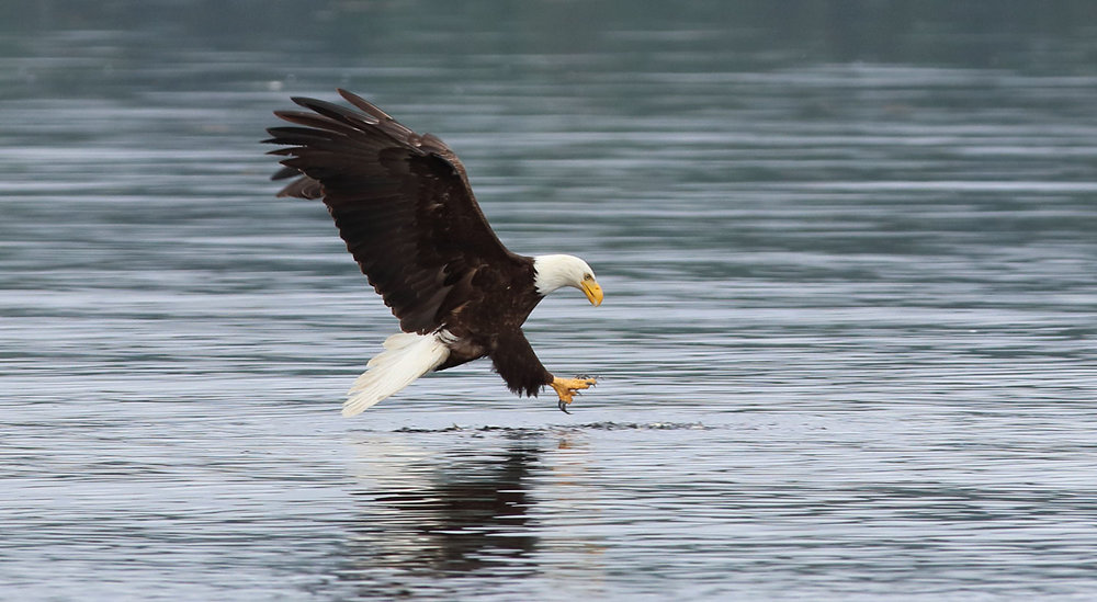 A mature bald eagle picking up some herring for lunch.