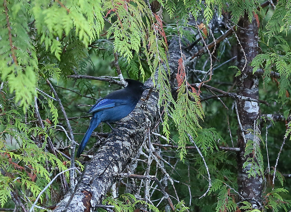 Steller's jays are pretty flashes of blue
