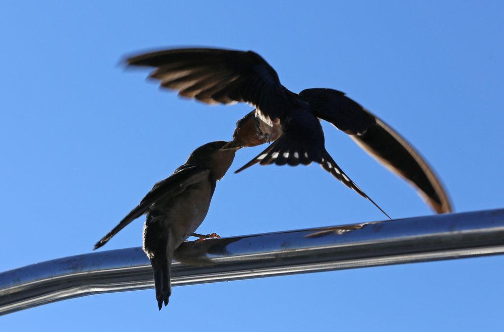Barn swallow feeding it's fledgling