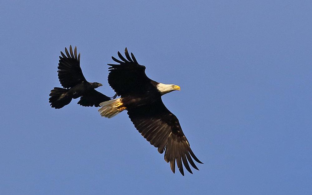 Ravens love to pester eagles