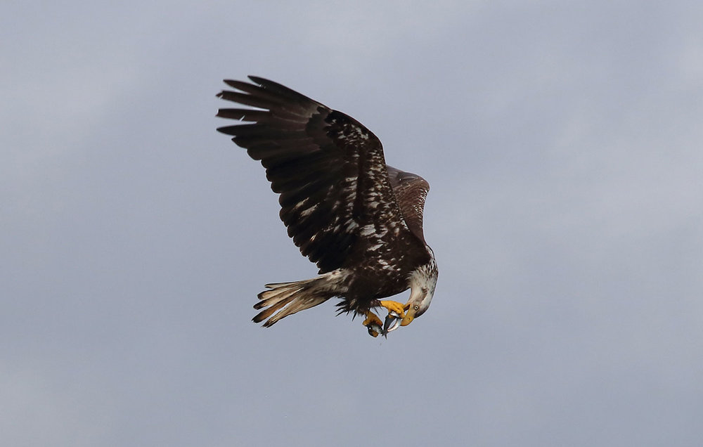 Immature bald eagle eating lunch on the fly