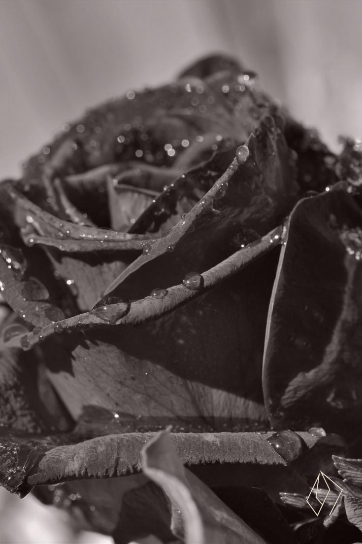 #rose.jpg