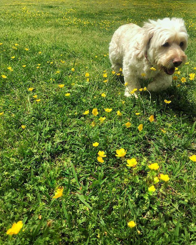 huntin' buttercups  #hellooooolongweekend 🙌🏼 #HENRYDTHEDOG