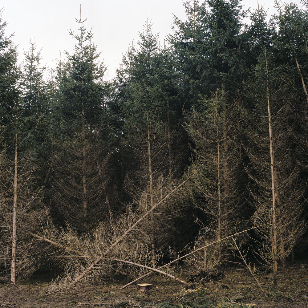 Maelle Collin_Fir Trees_WEB.jpg