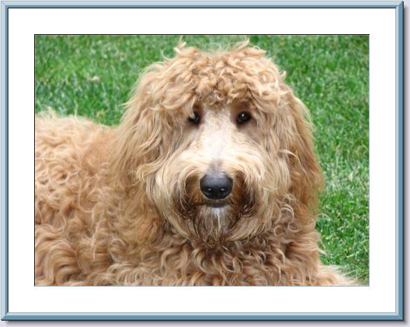 One of our Goldendoodles all grown up