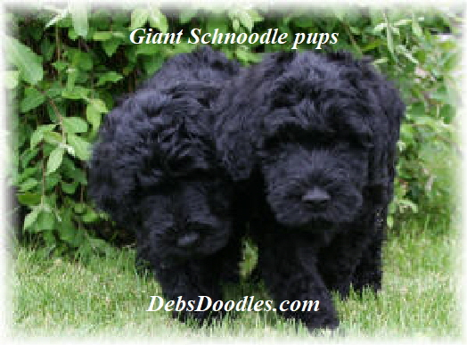 giant schnoodle puppies