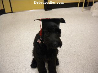 A Giant Schnoodle in her graduation cap