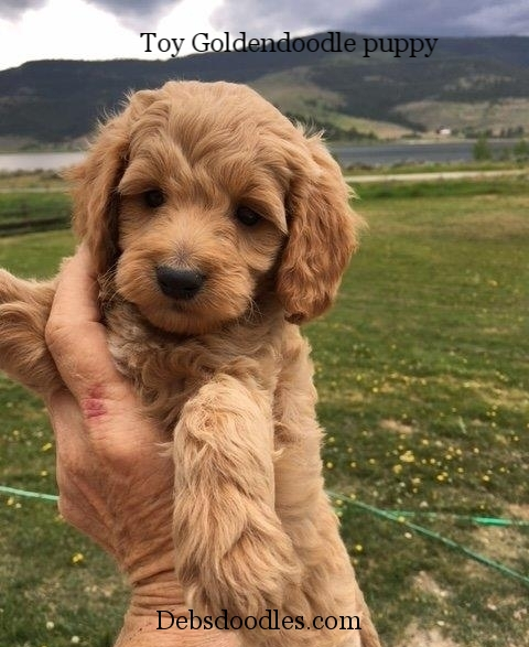female goldendoodle puppy